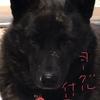甲斐犬サンの【今日のヤッチャッタ‼︎】の巻〜U^ェ^Uわんわんおッ