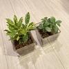 〔観葉植物〕【ガラス鉢】で【ハイドロカルチャー】をやってみた(part2)タノシミドリ
