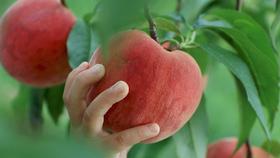 夏の水分補給にぴったり!自由にもぎ取って食べられる桃狩りを楽しもう