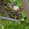 イースターン•ロゼラと鳩の卵
