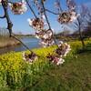 上堰潟公園の菜の花と桜をもう一度。