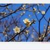 かまぼこ大学と梅の花♪