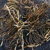 ミョウガの地下茎