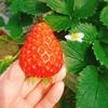 岡山のイチゴ狩りは農マル園芸がおすすめ!