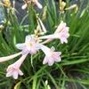 淡いピンク すみれ色 可憐な花が下向きに♪