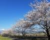長野マラソンの直前 安曇野の桜が満開