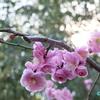 竹林の向こうは満開のしだれ梅  ― 名古屋市農業センター#4 ―