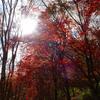 六甲山、もみじの紅葉残る。ルリビタキ(メス)、カワラヒワ、ヤマガラ、コゲラ。