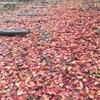 富良野で終わりかけの紅葉を見てチーズラーメンを食べてきました