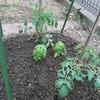 キュウリ、トマトの定植!