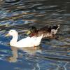 カモとアヒルが仲良く泳いでいます・古利根川春日橋付近で目撃