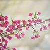 初めて咲いたリュウキュウカンヒザクラ:今日は立春