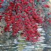 一面の赤い実から顔を出すヒヨドリ