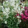 冬越しした白蝶草