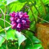 西表島の植物 カショウクズマメ(ハネミノモダマ)