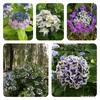 やる気と体力と紫陽花