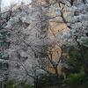 秋葉原も桜模様in2014