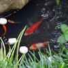 池のコメットたち