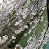 目黒川の桜見てきた2019!【2】(中目黒駅側)