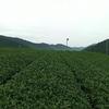 4番茶芽の生育はゆっくり