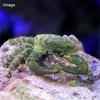 【アクアリウム】エメラルドグリーンクラブ 海水水槽のお掃除