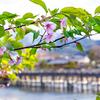 京都・嵐山 - 渡月橋見下ろす櫟谷宗像神社の河津桜