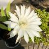 10年前に買ったサボテン、初めて花が咲きました。何かいいことがあるかも・・・