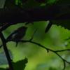 テレコンで探鳥、早戸川林道の野鳥/2018-8-16、弘法山&早戸川の野鳥/2018-8-19、森戸川林道の野鳥/2018-8-20