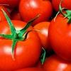 トマトの太くなる茎に萌える