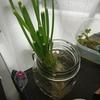 再生栽培の野菜をプランターに植え替えて家庭菜園を拡張した