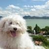 犬アドベントカレンダー18日目 マルチーズ