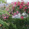 雨の朝の薔薇アーチと朝日新聞