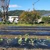 サヤエンドウ畑準備