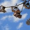 桜咲いて母は空に帰る