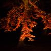 修善寺の虹の郷に紅葉のライトアップを見に行ってきた。