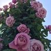 岐阜の話題スポット 今週末までのバラ祭り もうチェックしましたか?