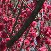 東谷山フルーツパークの春:桜の前の静かなる花の競演