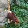 セスジキノボリカンガルー Dendrolagus goodfellowi