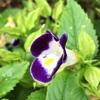 トレニアとアメリカン・ブルーの花