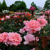 5月のバラ ~庄堺公園バラ園~