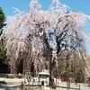 【京都の桜の穴場】千本釈迦堂のしだれ桜でお花見したつもり(動画あり)♪