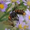 スズメバチの狩り