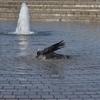 【一日一枚写真】鴉の水浴び【一眼レフ】