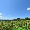 2020年のイエローお盆。天空のひまわり畑と、ちょこっとシゴナナ!