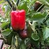"""畑からこんにちは! 1113  """" 日が沈むのが早いことに気づきました☝️💦 """"  #家庭菜園 #冬の野菜 #畑"""