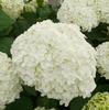 アナベルの白が濃く♪ ピンクとホワイトのランタナ!? エキナセアの花とムクゲのツボミも♪