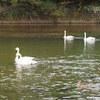 小川町白鳥ふれあい広場で白鳥を見てきました