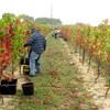 ブドウの栽培に関する条件 - ワインベルト・日照・降水量の覚え方