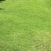 本日の芝生🌟