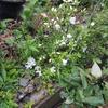 2012/04/30 街中では散り始めたツツジもウチでは開花。しかし雨で可哀想(>_<)